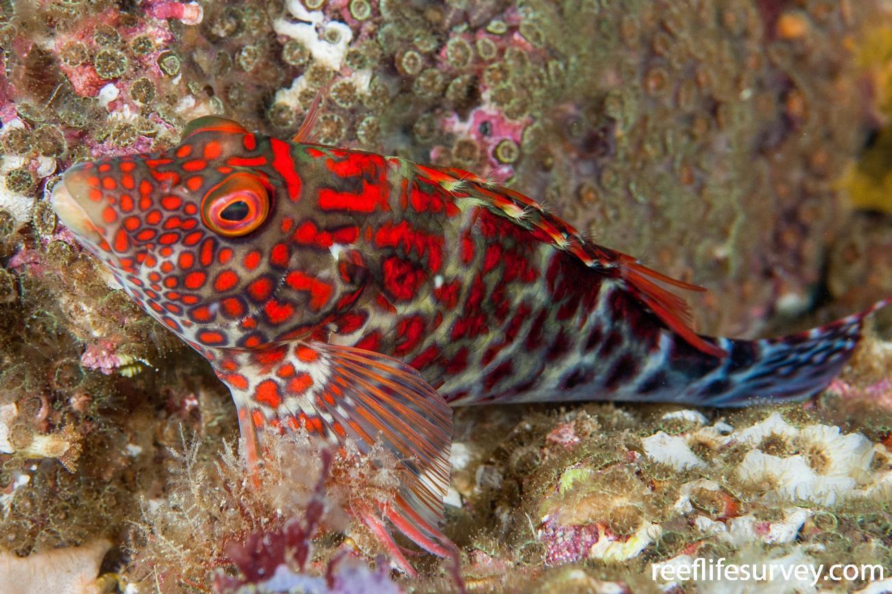Notocirrhitus splendens, Lord Howe Island, NSW, Australia,  Photo: Ian Shaw