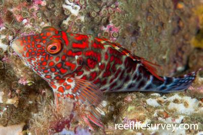 Notocirrhitus splendens: Lord Howe Island, NSW, Australia,  Photo: Ian Shaw