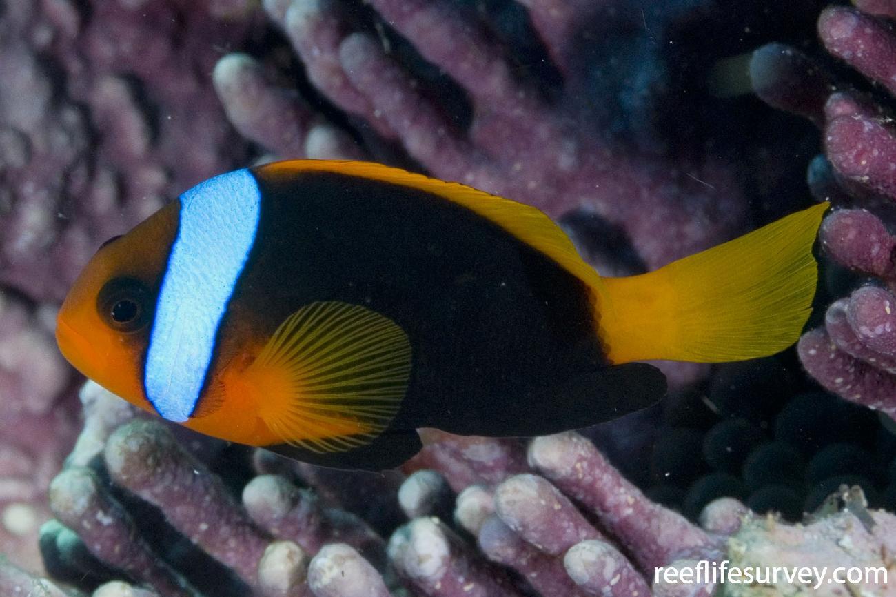 Amphiprion melanopus, Coral Sea, Australia,  Photo: Andrew Green