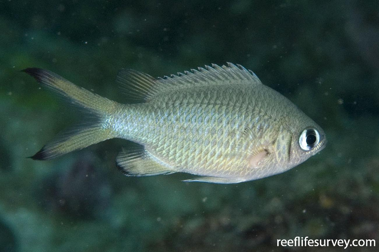Chromis weberi, Jervis Bay, NSW,  Photo: Andrew Green