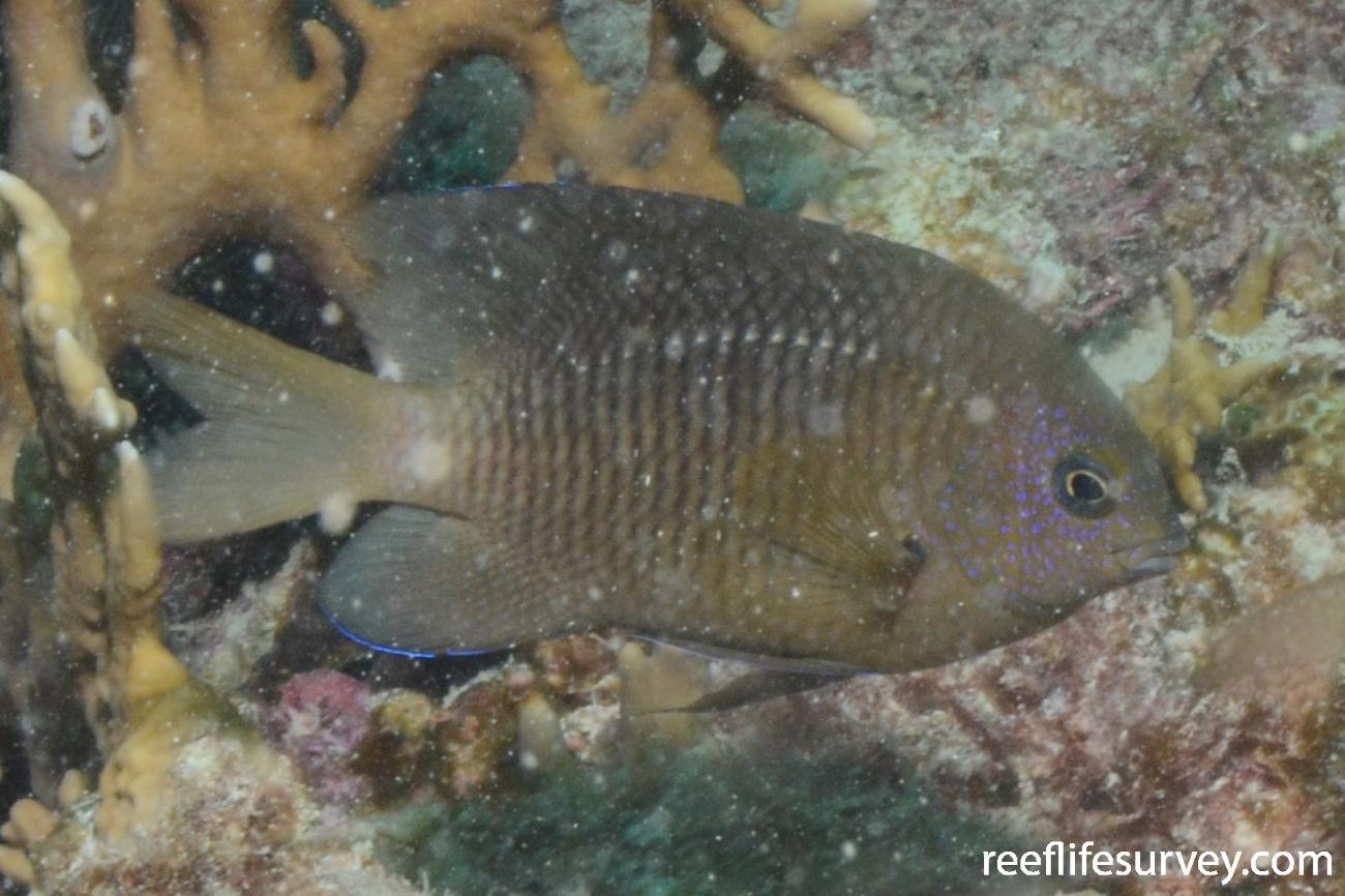 Stegastes fuscus, Abrolhos Islands, Brazil,  Photo: Graham Edgar