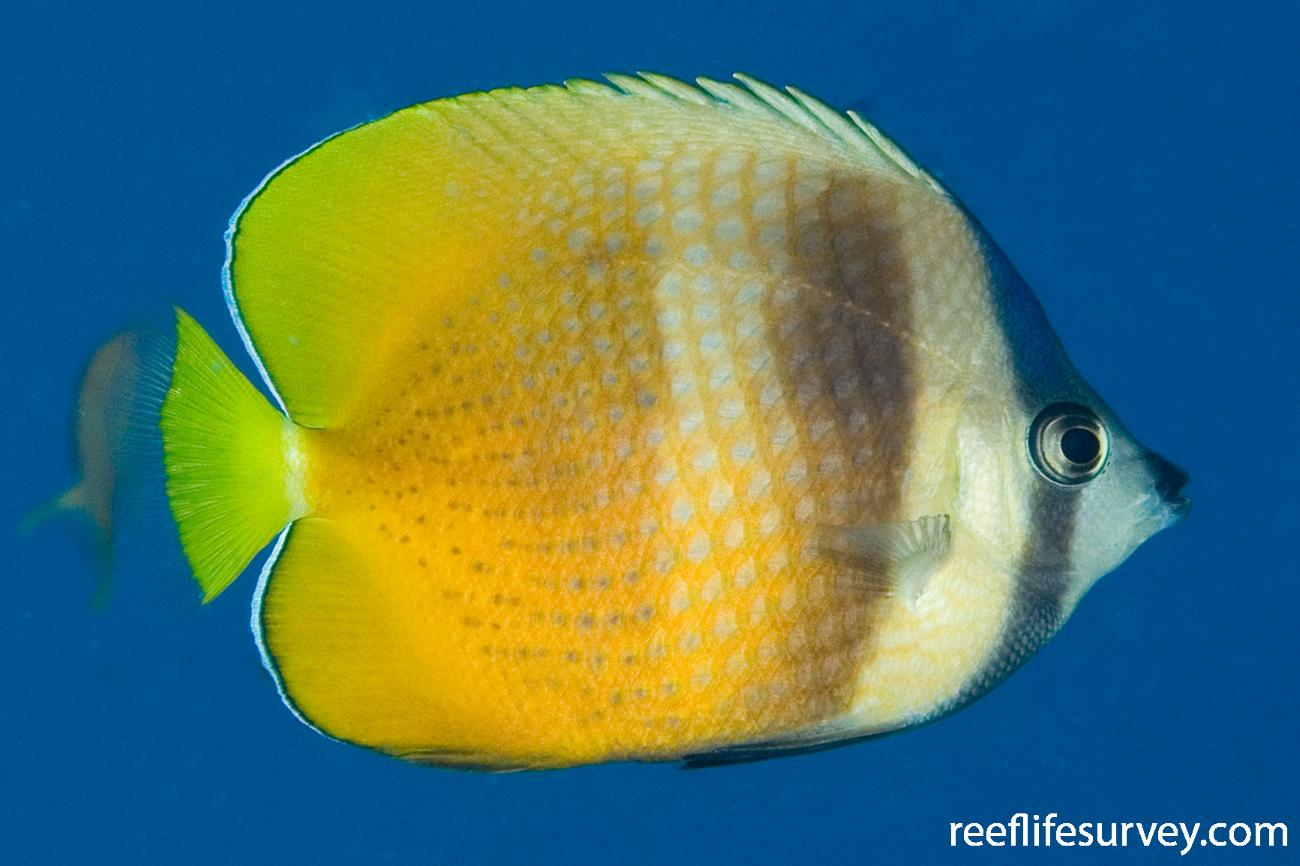 Chaetodon kleinii, Adult, Naigani Is, Fiji,  Photo: Andrew Green
