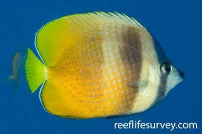 Chaetodon kleinii: Adult, Naigani Is, Fiji,  Photo: Andrew Green
