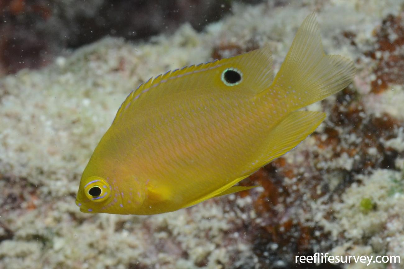Pomacentrus amboinensis, Juvenile, Northern Great Barrier Reef,  Photo: Joe Shields