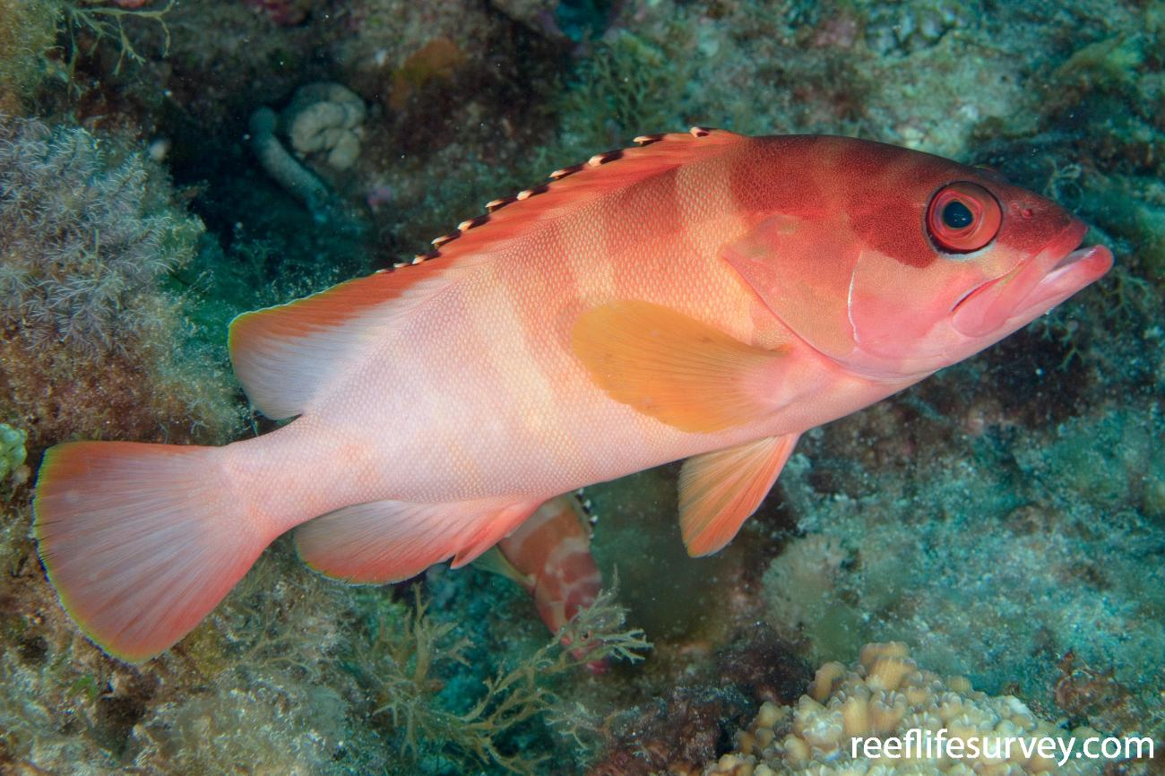 Epinephelus fasciatus, Adult, Lord Howe Is, NSW,  Photo: Andrew Green