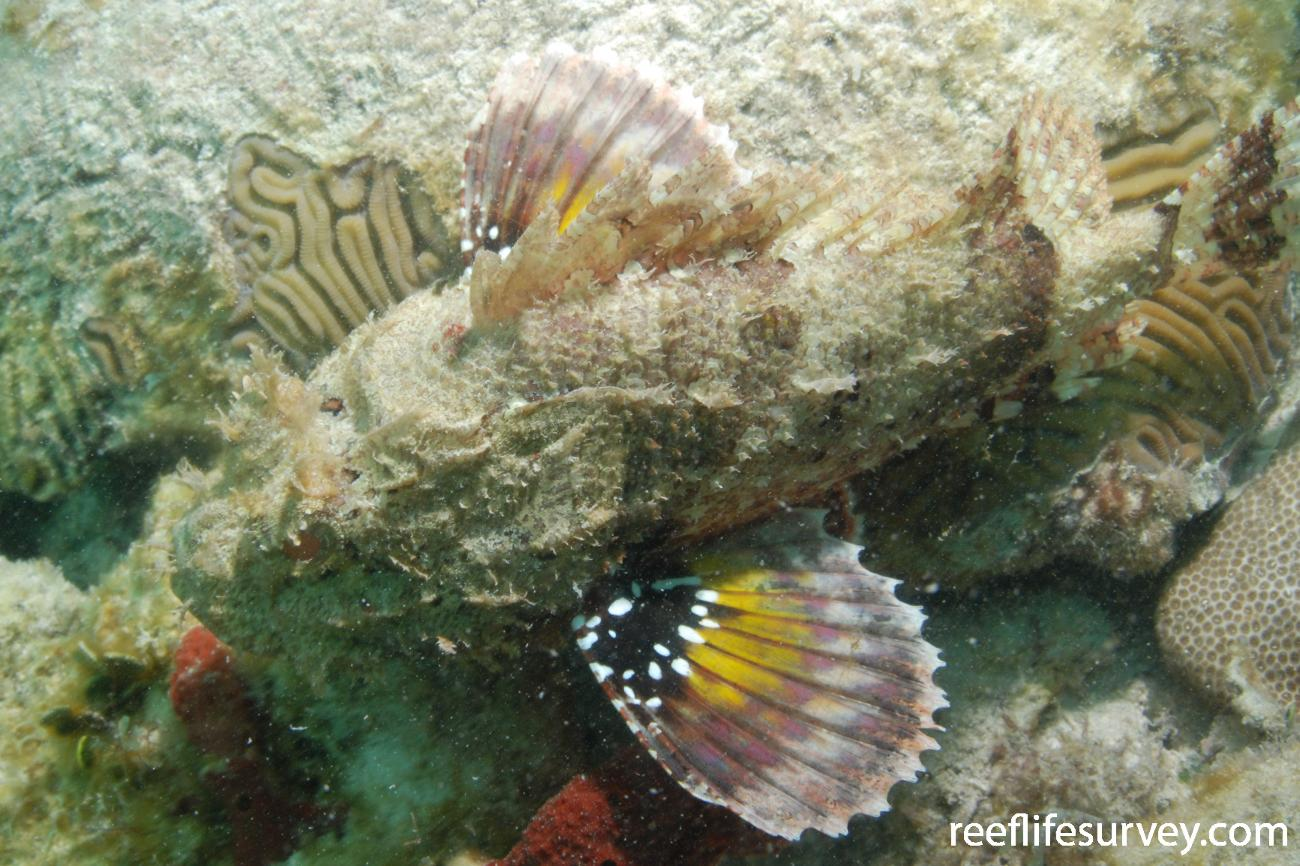 Scorpaena plumieri, Florida Keys, USA,  Photo: Graham Edgar