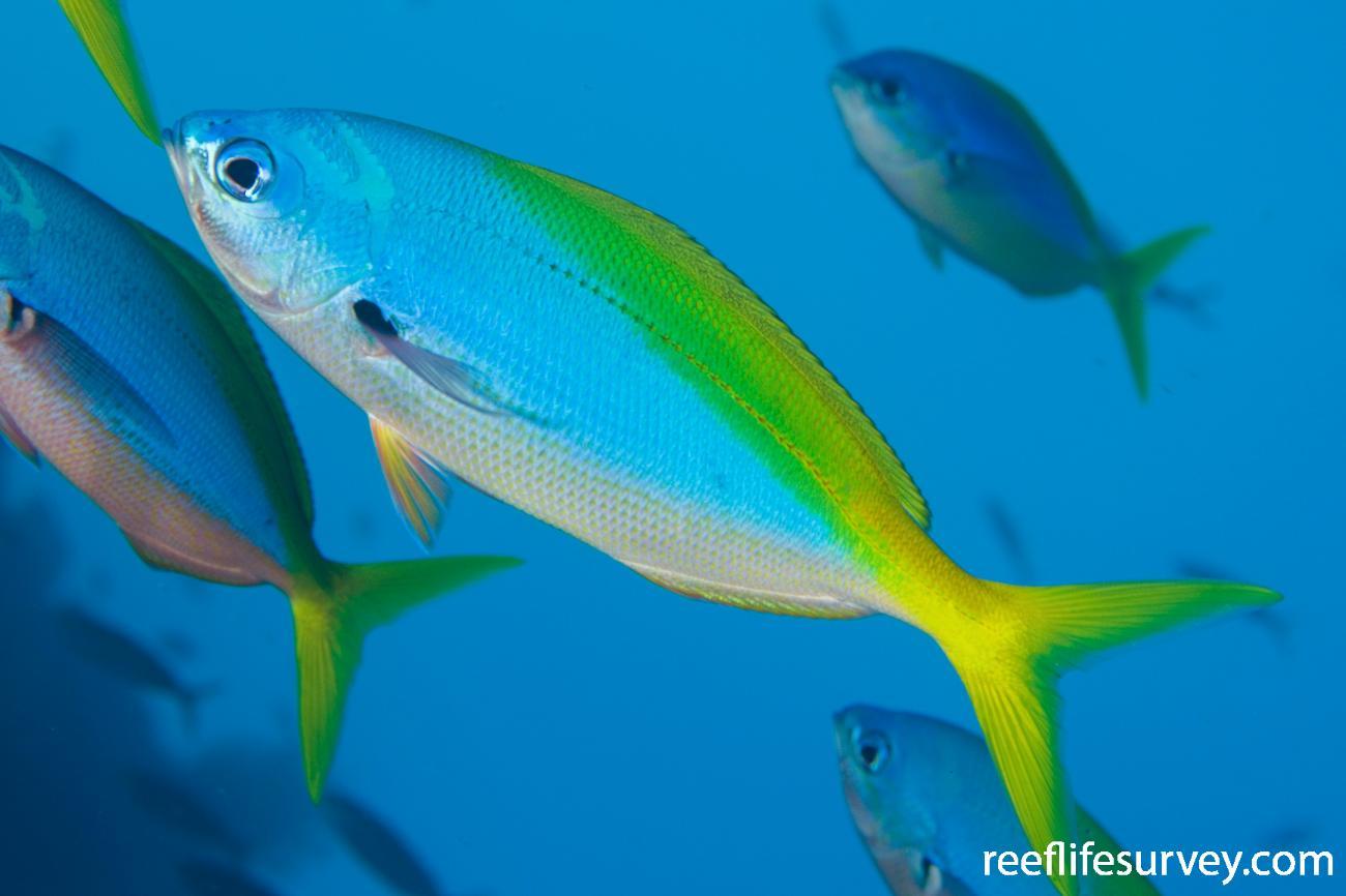 Caesio teres, Naigani Island, Fiji,  Photo: Andrew Green