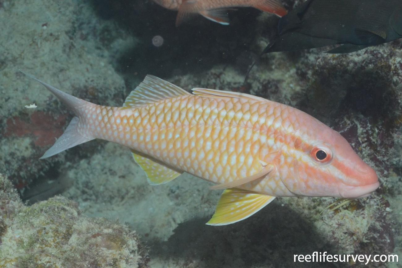 Parupeneus ciliatus, Minerva Reef, Pacific Ocean,  Photo: Graham Edgar