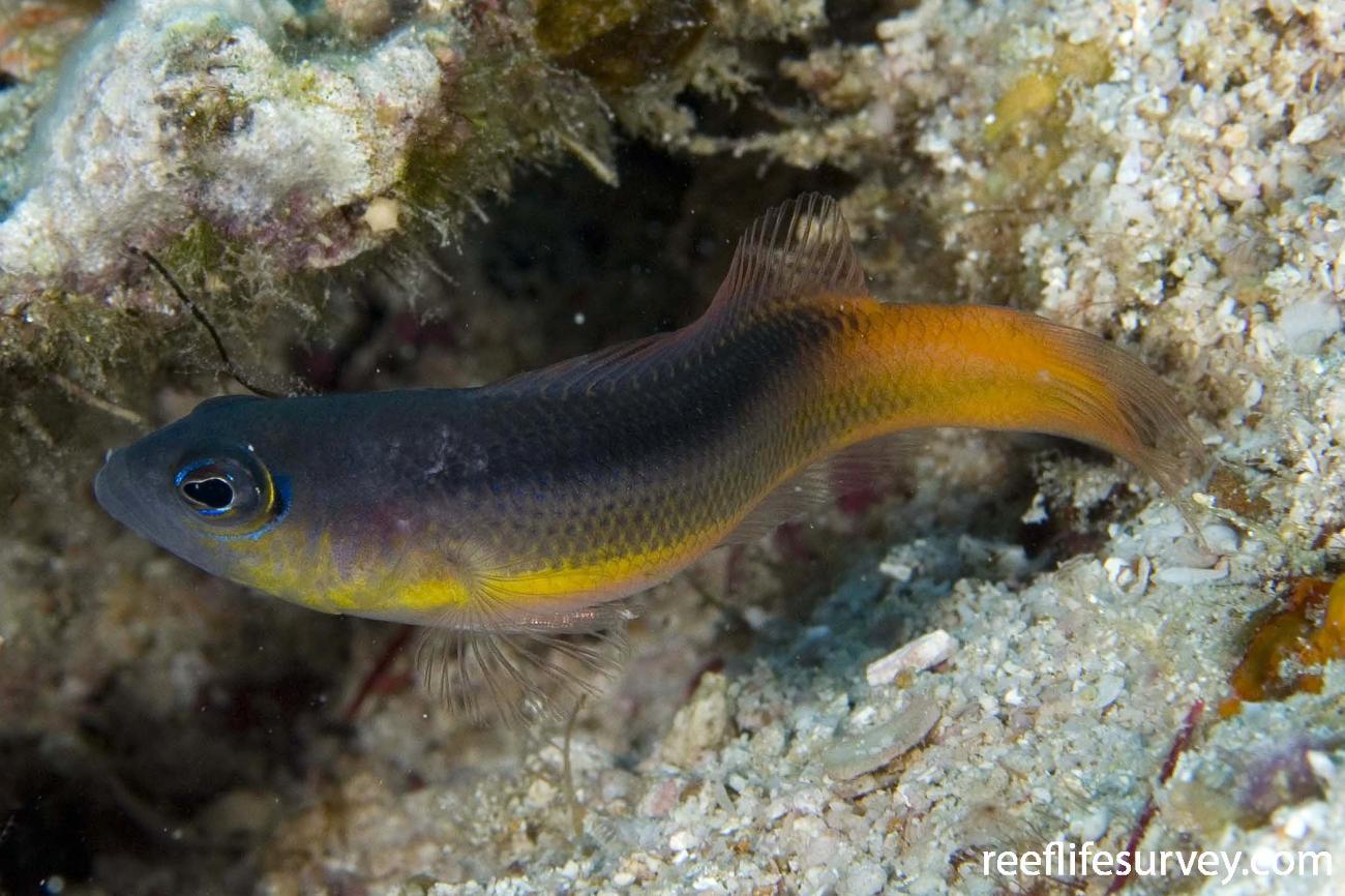 Pseudochromis ammeri, Juvenile, Raja Ampat, Indonesia,  Photo: Andrew Green