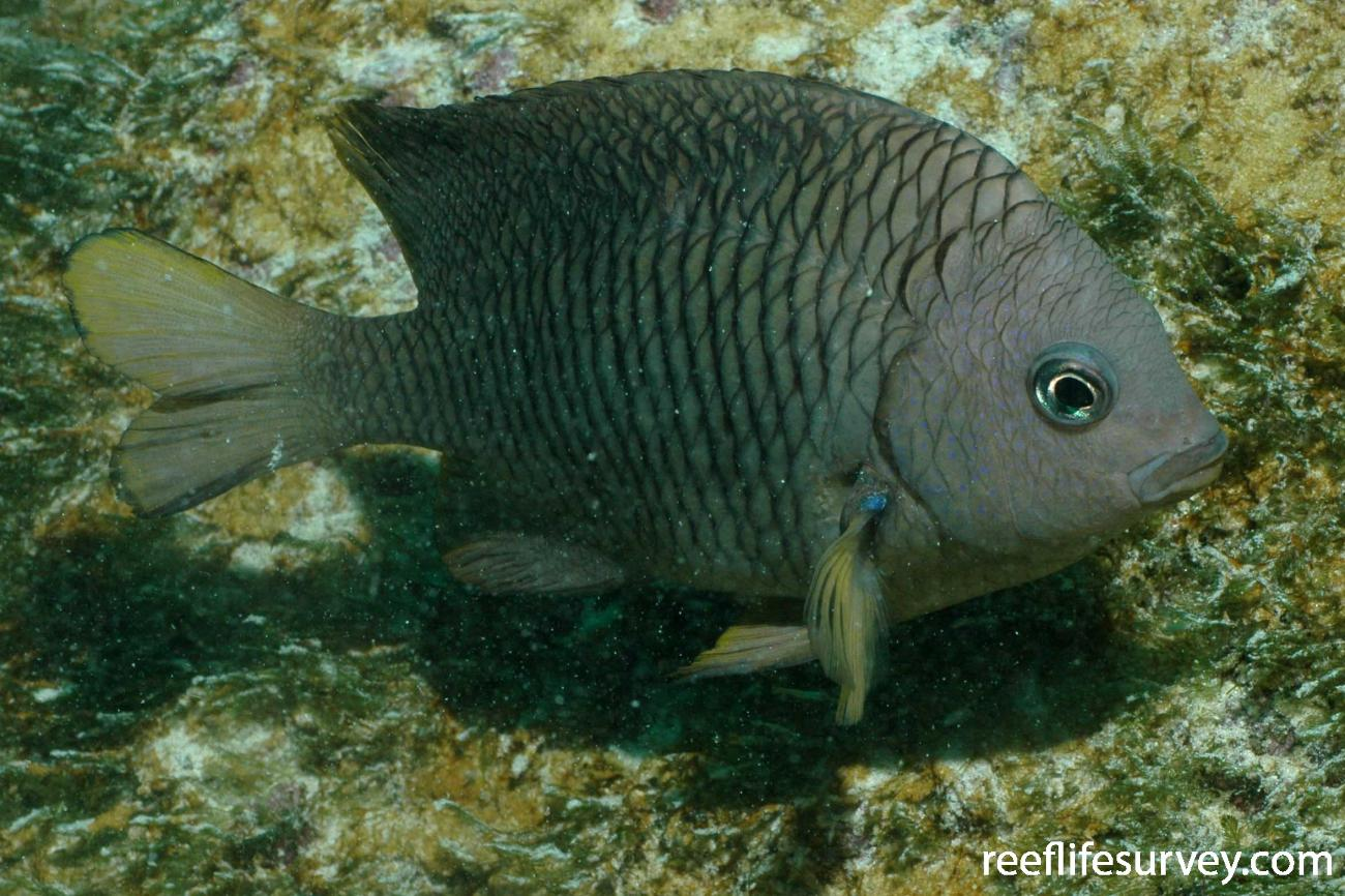 Stegastes flavilatus, Adult, Galapagos Islands, Ecuador,  Photo: Graham Edgar