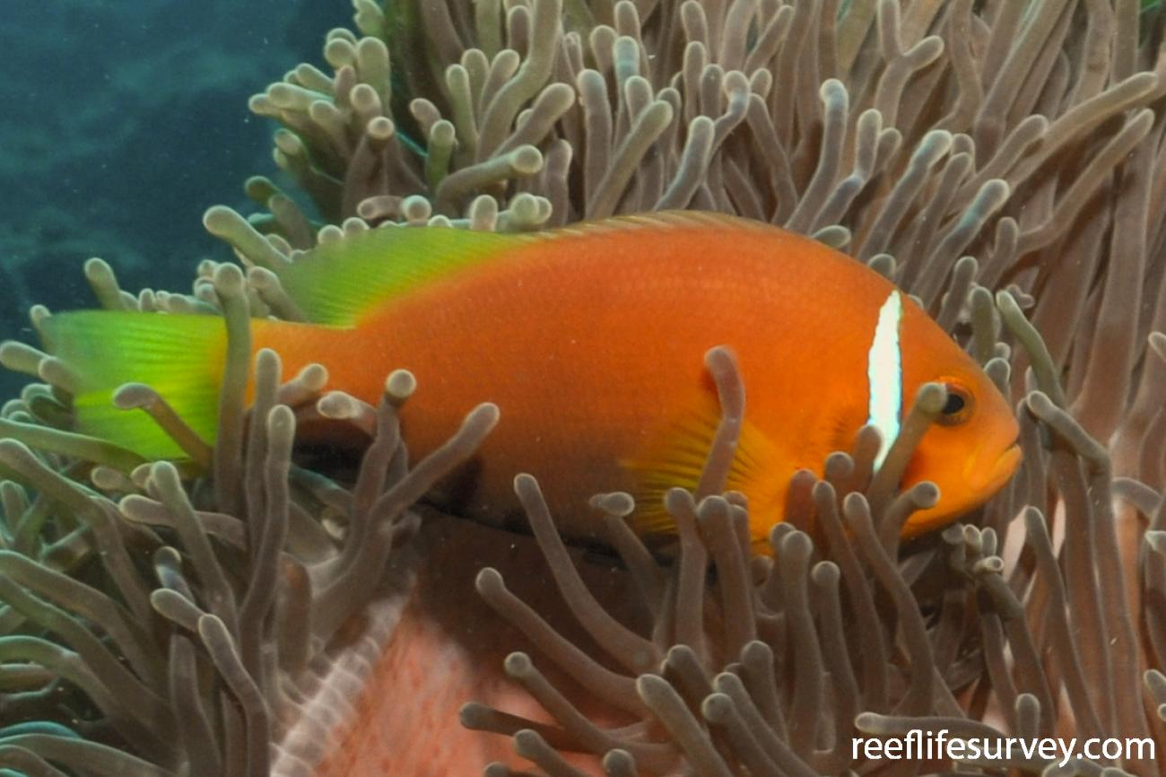 Amphiprion nigripes, Maldives,  Photo: Rick Stuart-Smith