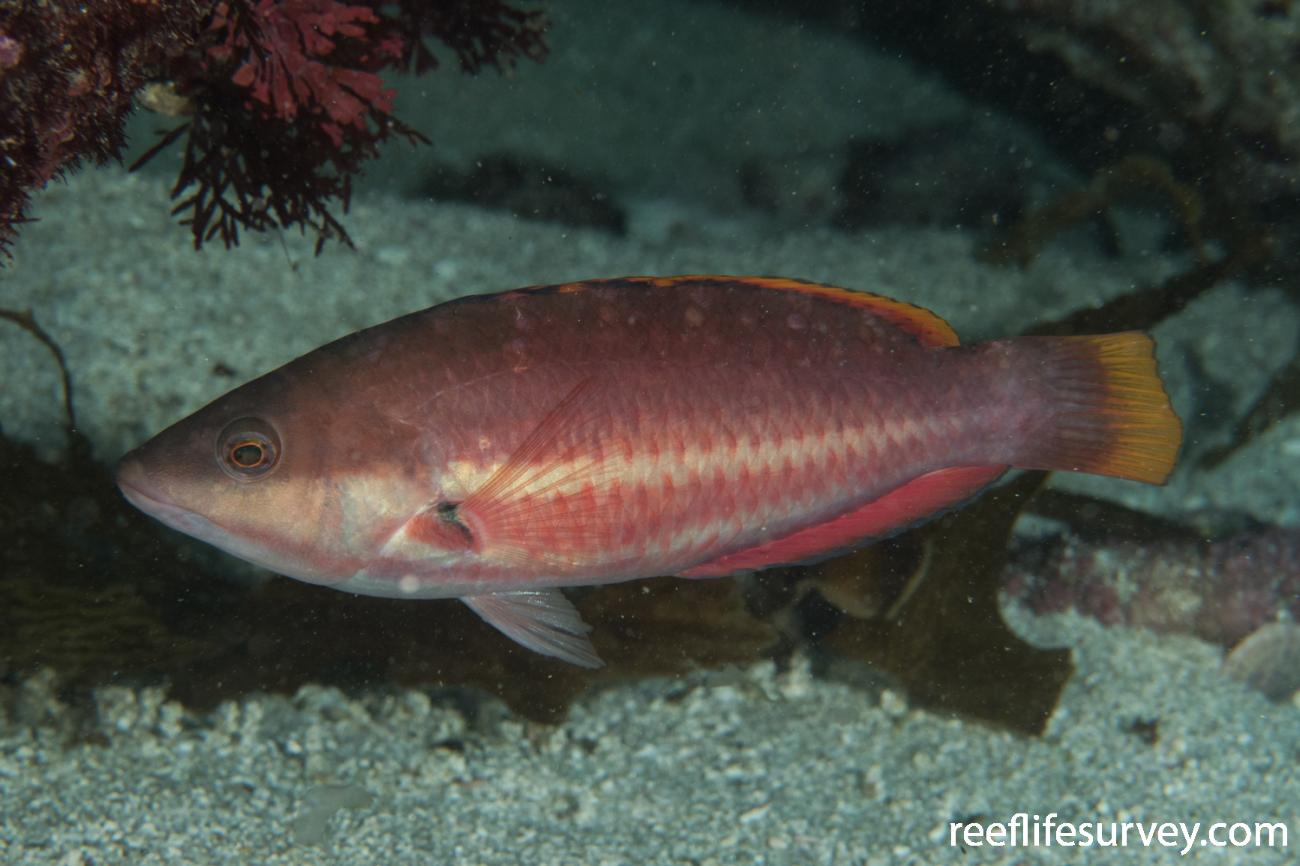 Pseudolabrus biserialis, Male, Rottnest Island, WA,  Photo: Rick Stuart-Smith