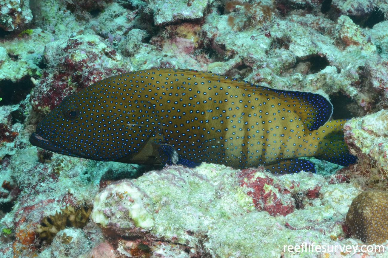 Cephalopholis argus, Adult, Coral Sea, Australia,  Photo: Graham Edgar