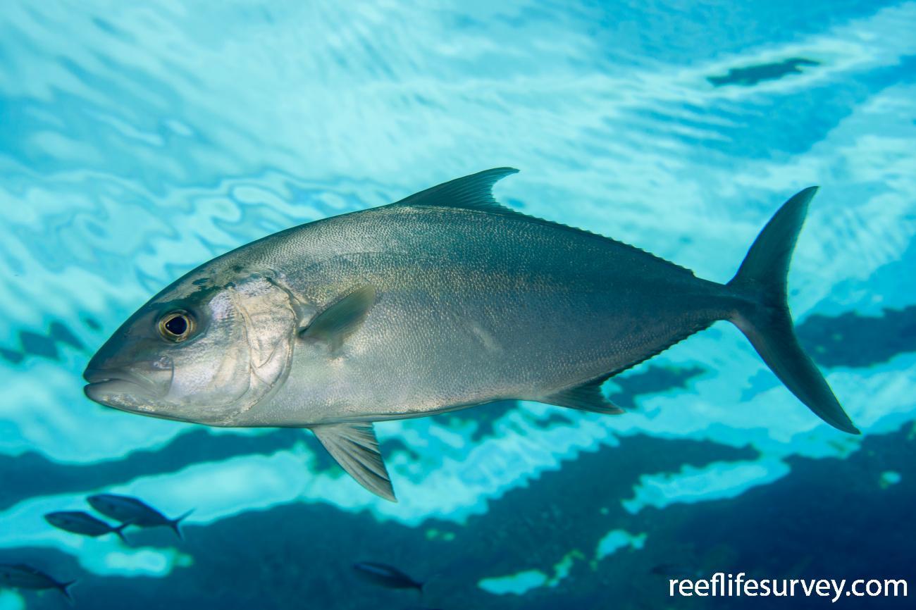 Seriola rivoliana, Same individual, but with fins down. Coral Sea, Australia,  Photo: Rick Stuart-Smith