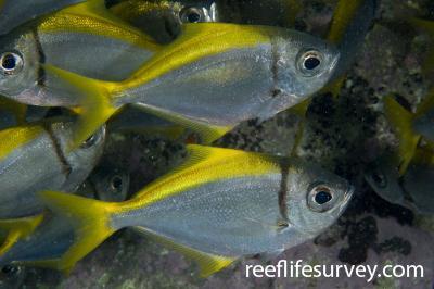 Schuettea scalaripinnis: Jervis Bay, NSW,  Photo: Andrew Green