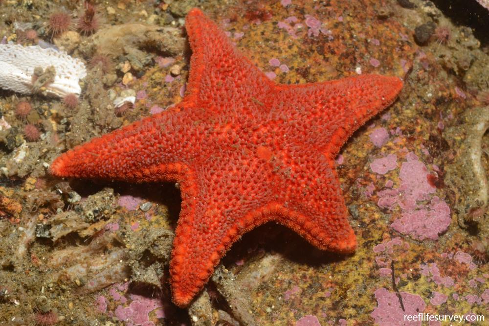 Diplodontias singularis - Badge Starfish | ReefLifeSurvey.com