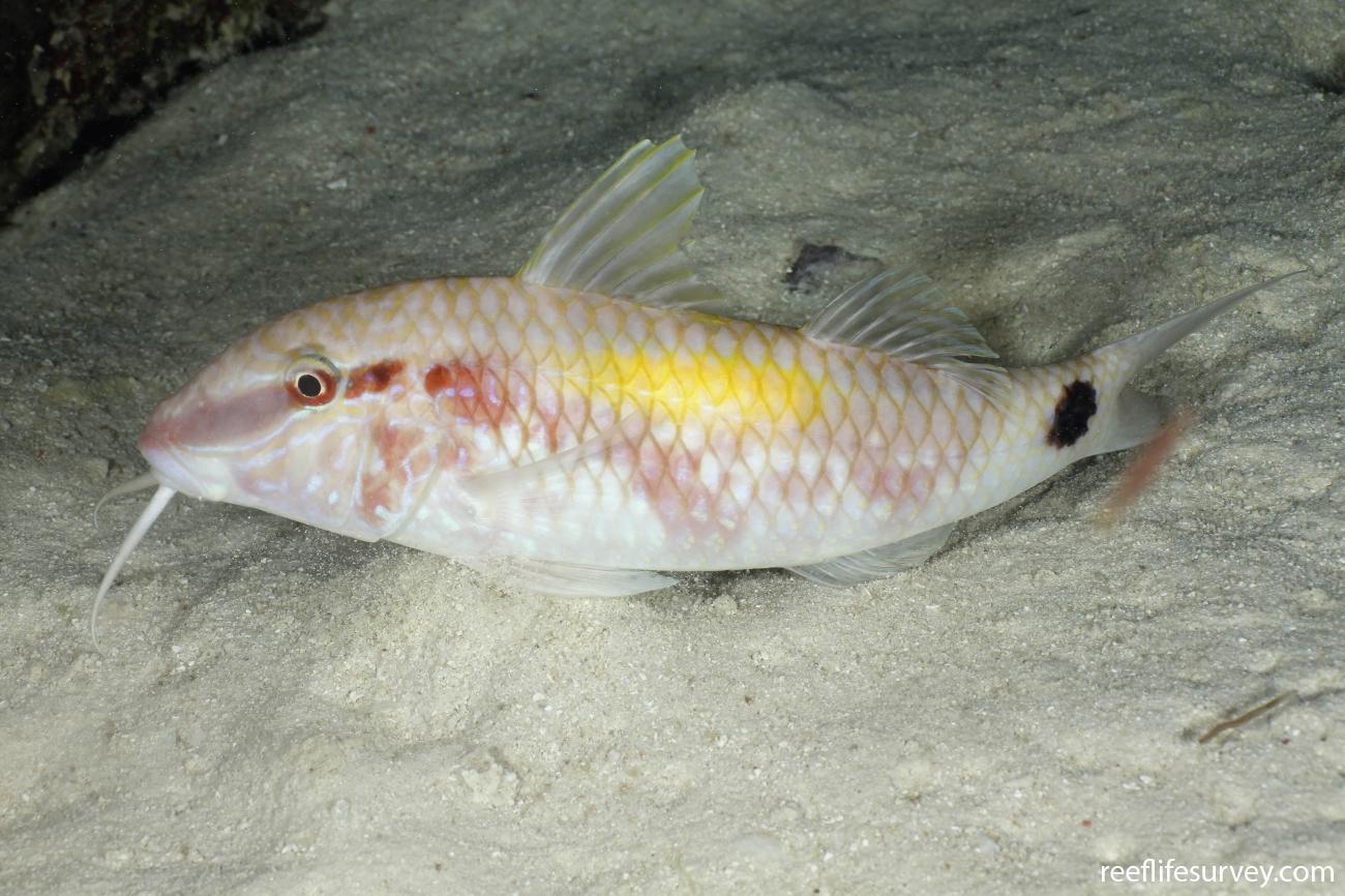Parupeneus indicus, Night colouration, Coral Sea, Australia,  Photo: Ian Shaw