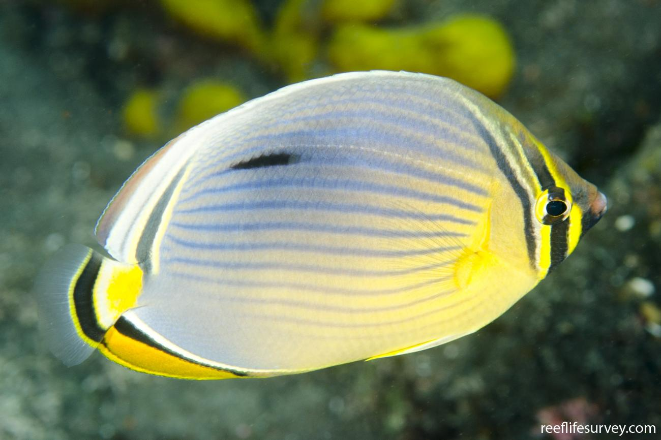 Chaetodon trifasciatus, Adult, Bali, Indonesia,  Photo: Ian Shaw