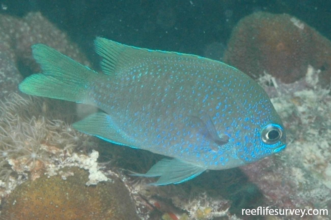 Chromis insolata, Florida Keys, USA,  Photo: Peter Mooney