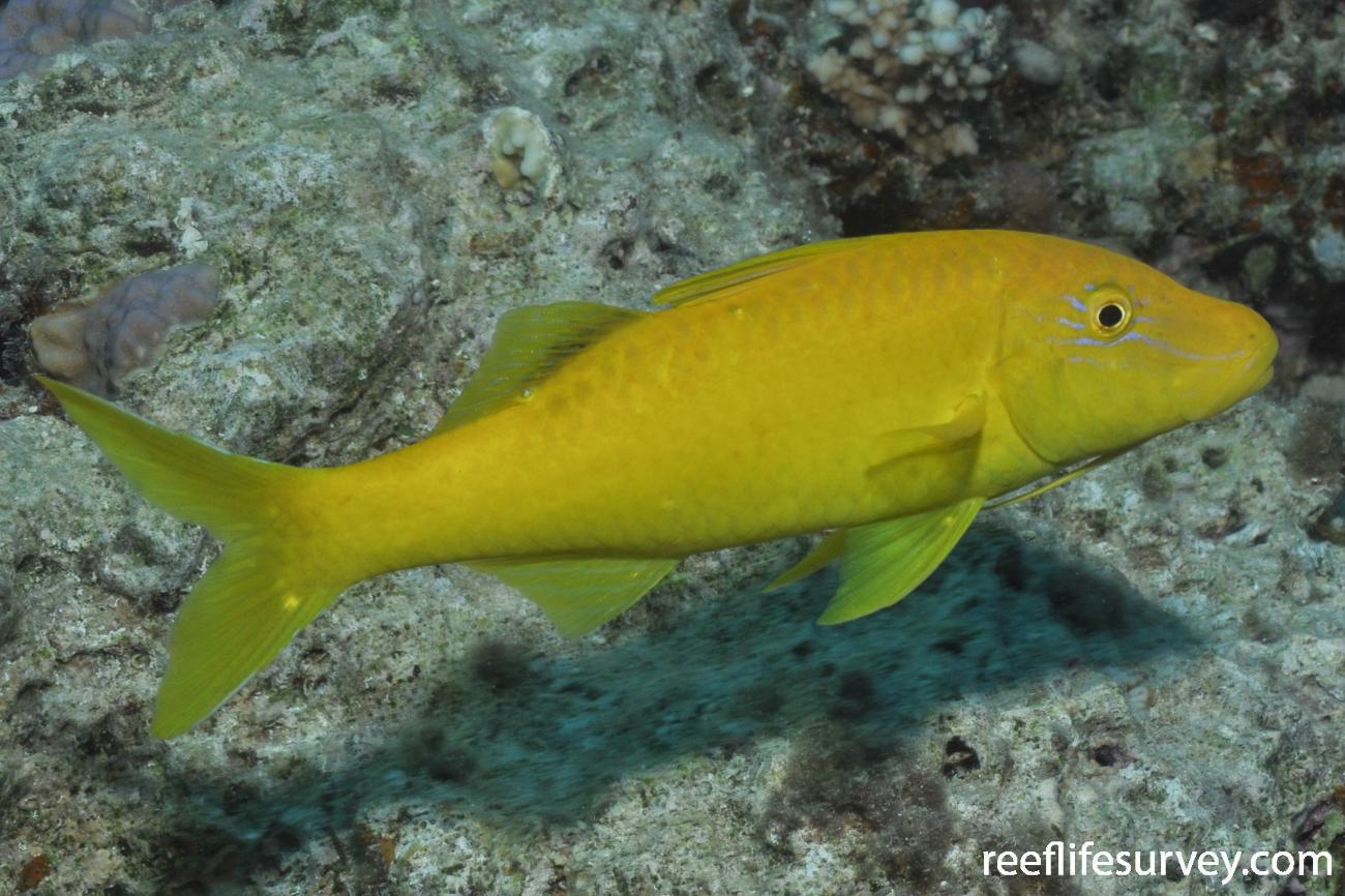 Parupeneus cyclostomus, Red Sea,  Photo: Rick Stuart-Smith