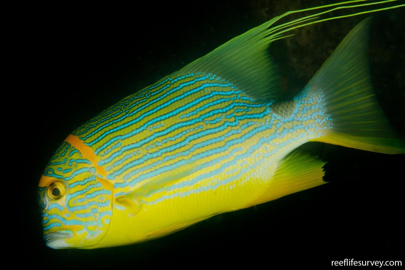 Symphorichthys spilurus, Sulawesi, Indonesia,  Photo: Ian Shaw
