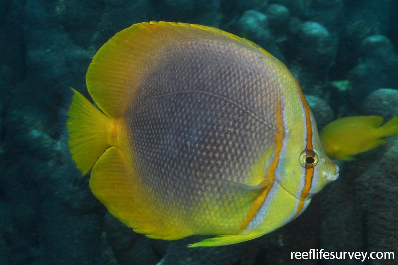 Chaetodon aureofasciatus,  Photo: Rick Stuart-Smith