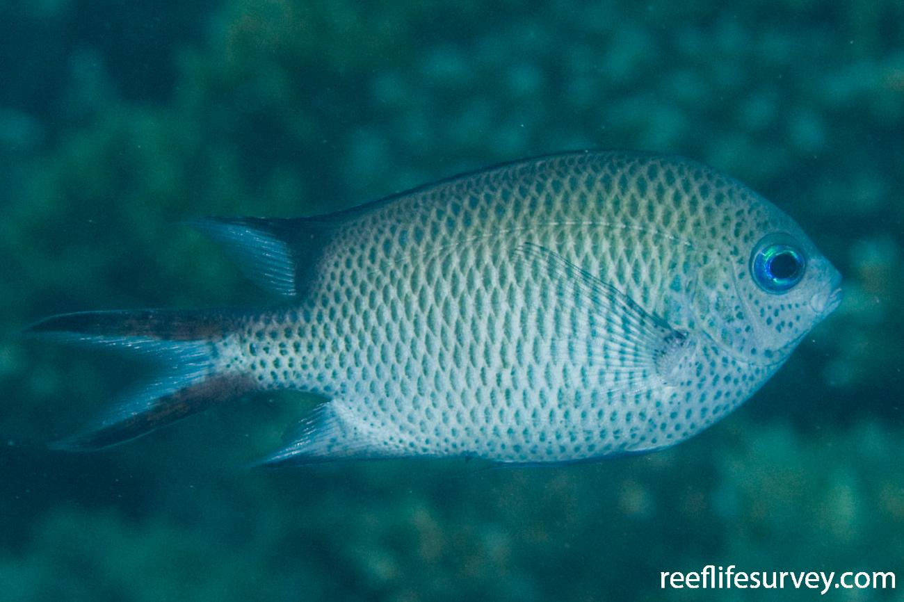 Acanthochromis polyacanthus, Adult, Great Keppel Is, Qld, Australia,  Photo: Andrew Green
