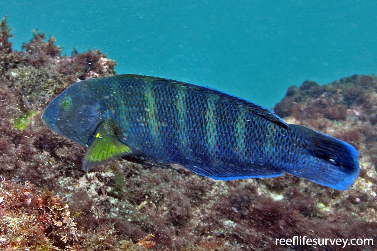 Thalassoma septemfasciatum, Female, Rottnest Is, WA,  Photo: Rick Stuart-Smith