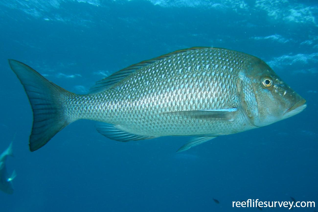 Lethrinus nebulosus, WA, Australia,  Photo: Jemina Stuart-Smith