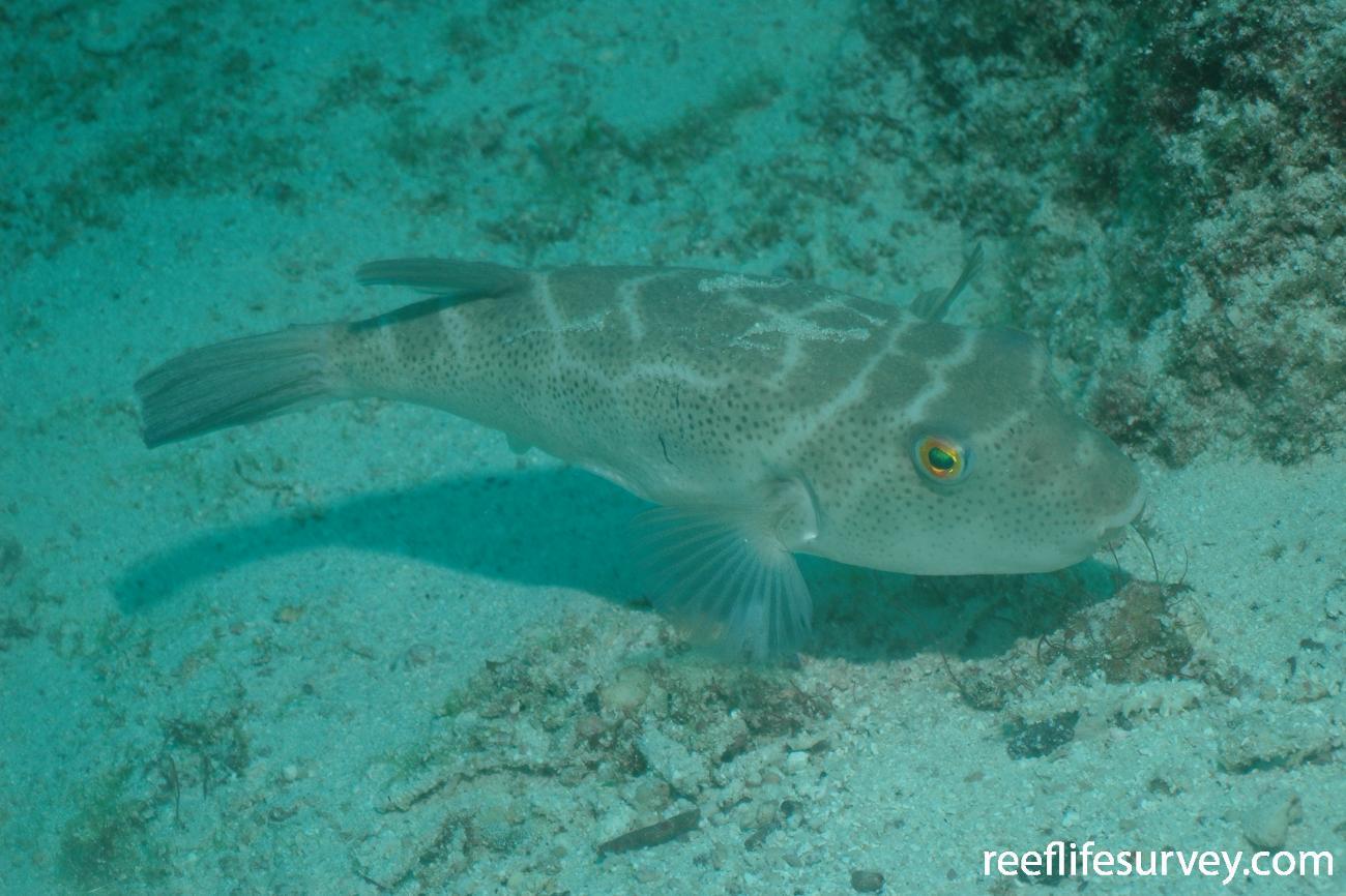 Sphoeroides annulatus, Adult, Galapagos Islands, Ecuador,  Photo: Graham Edgar