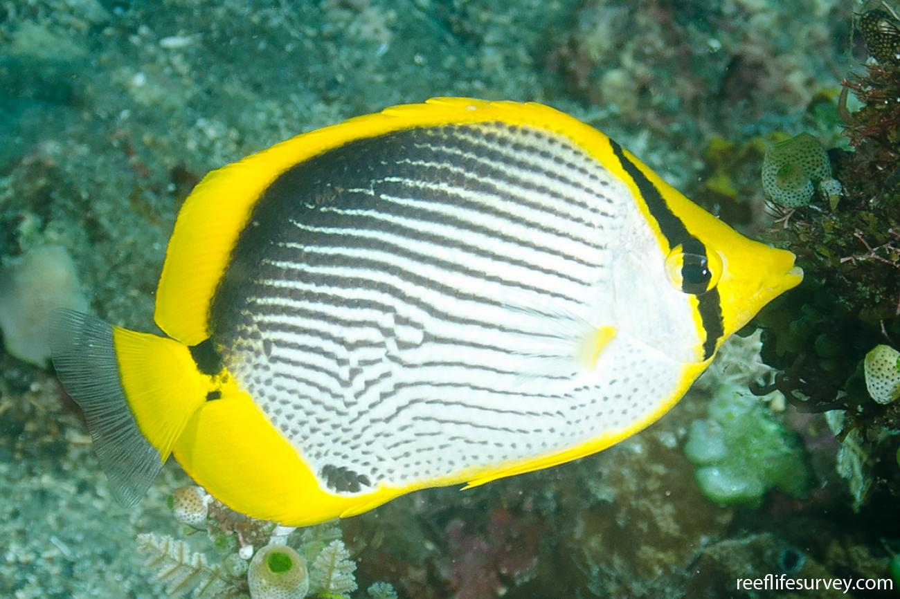 Chaetodon melannotus, Adult, Bali, Indonesia,  Photo: Ian Shaw