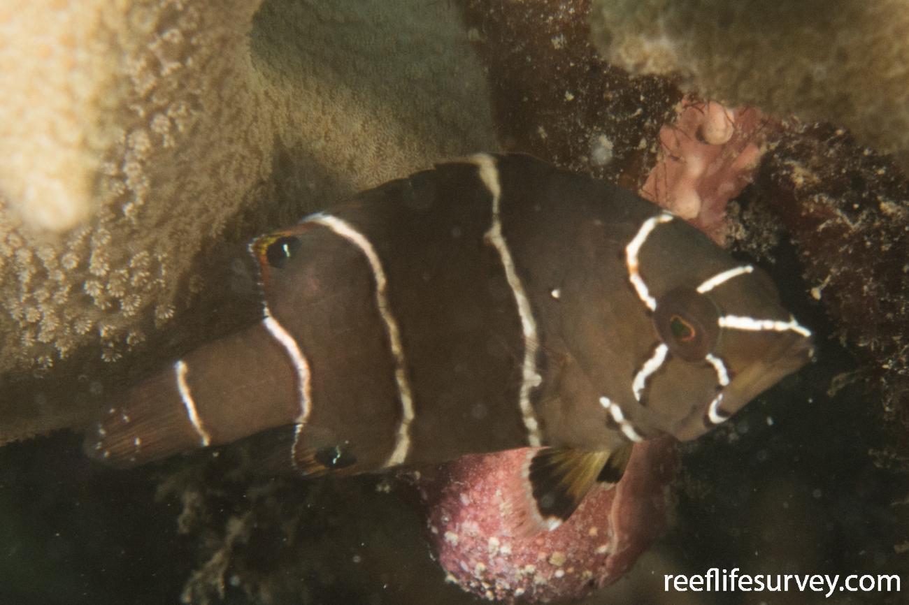 Epibulus insidiator, Juvenile, QLD, Australia,  Photo: Rick Stuart-Smith