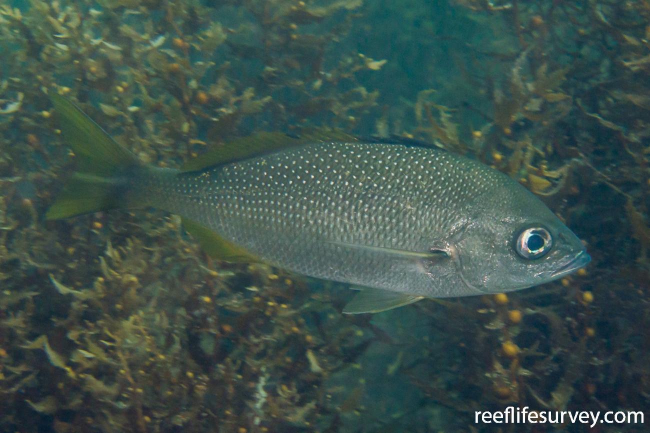 Haemulon flaviguttatum, Gulf of California, Mexico,  Photo: Rick Stuart-Smith