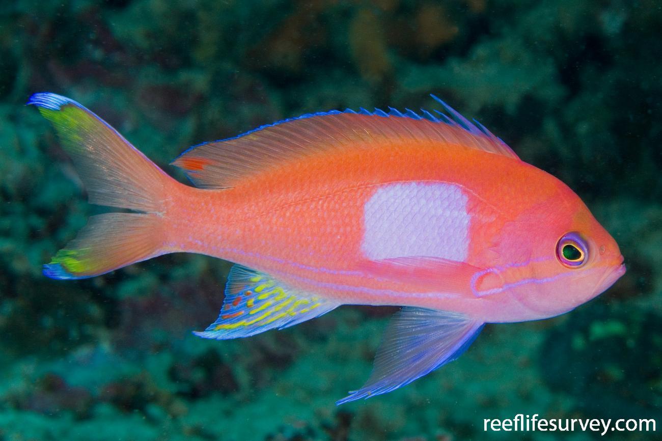 Pseudanthias pleurotaenia, Male, Raja Ampat, Indonesia,  Photo: Andrew Green