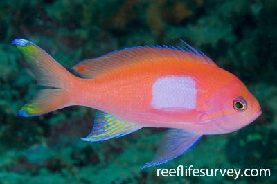 Pseudanthias pleurotaenia: Male, Raja Ampat, Indonesia,  Photo: Andrew Green