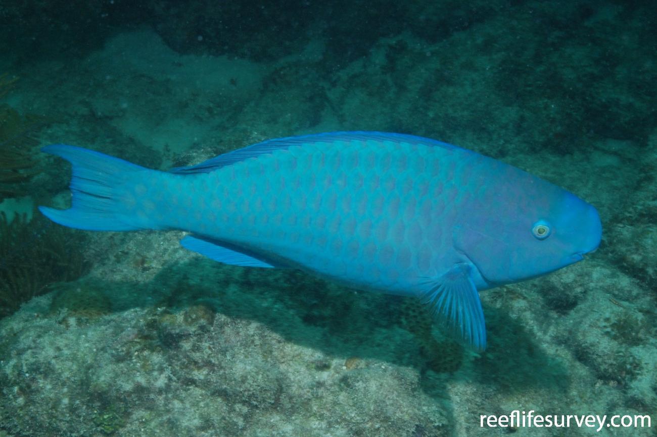 Scarus coeruleus, Florida Keys, USA,  Photo: Graham Edgar