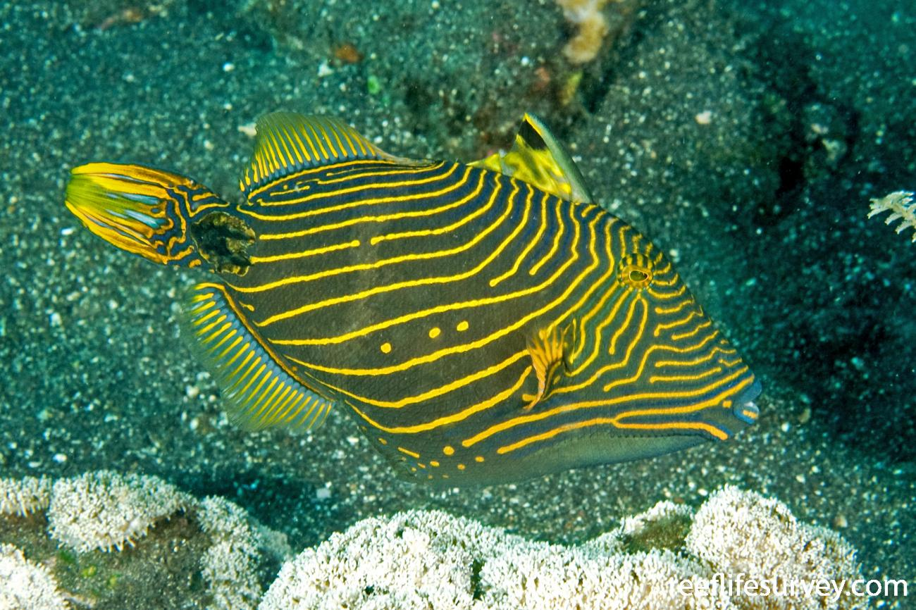 Balistapus undulatus, Bali, Indonesia,  Photo: Ian Shaw