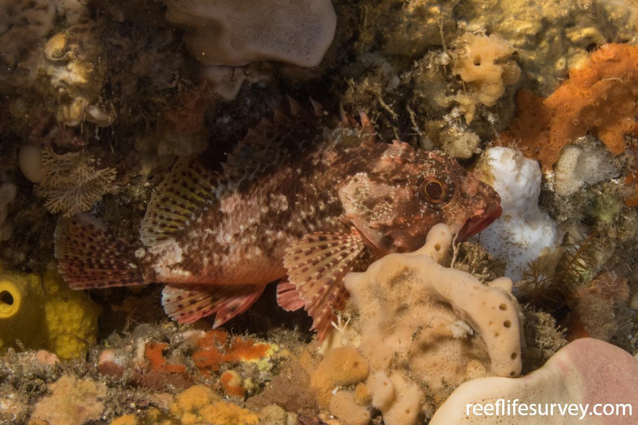 Scorpaena papillosa, Tasman Peninsula, TAS,  Photo: Rick Stuart-Smith