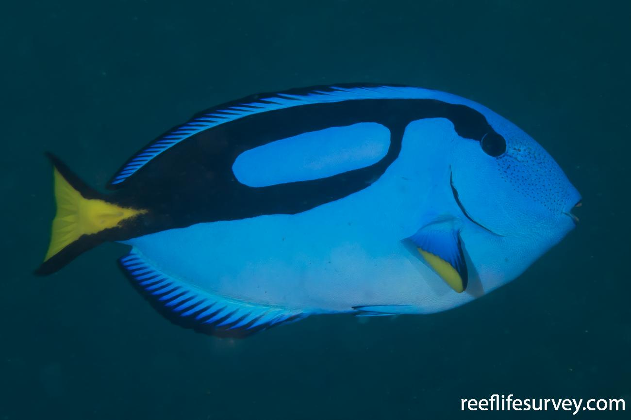 Paracanthurus hepatus, Great Barrier Reef, Australia,  Photo: Rick Stuart-Smith