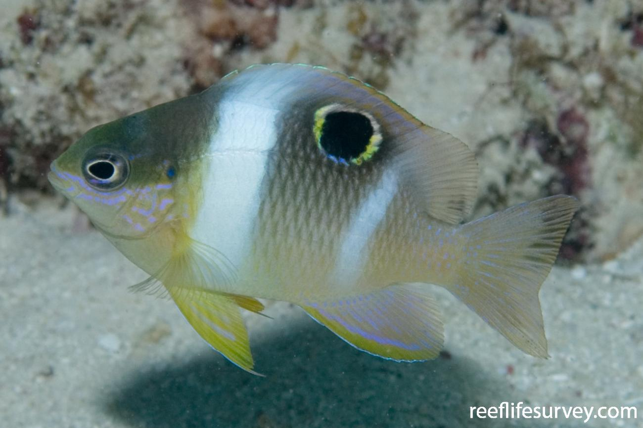 Dischistodus pseudochrysopoecilus, Juvenile, Great Barrier Reef, Cairns, Qld,  Photo: Andrew Green
