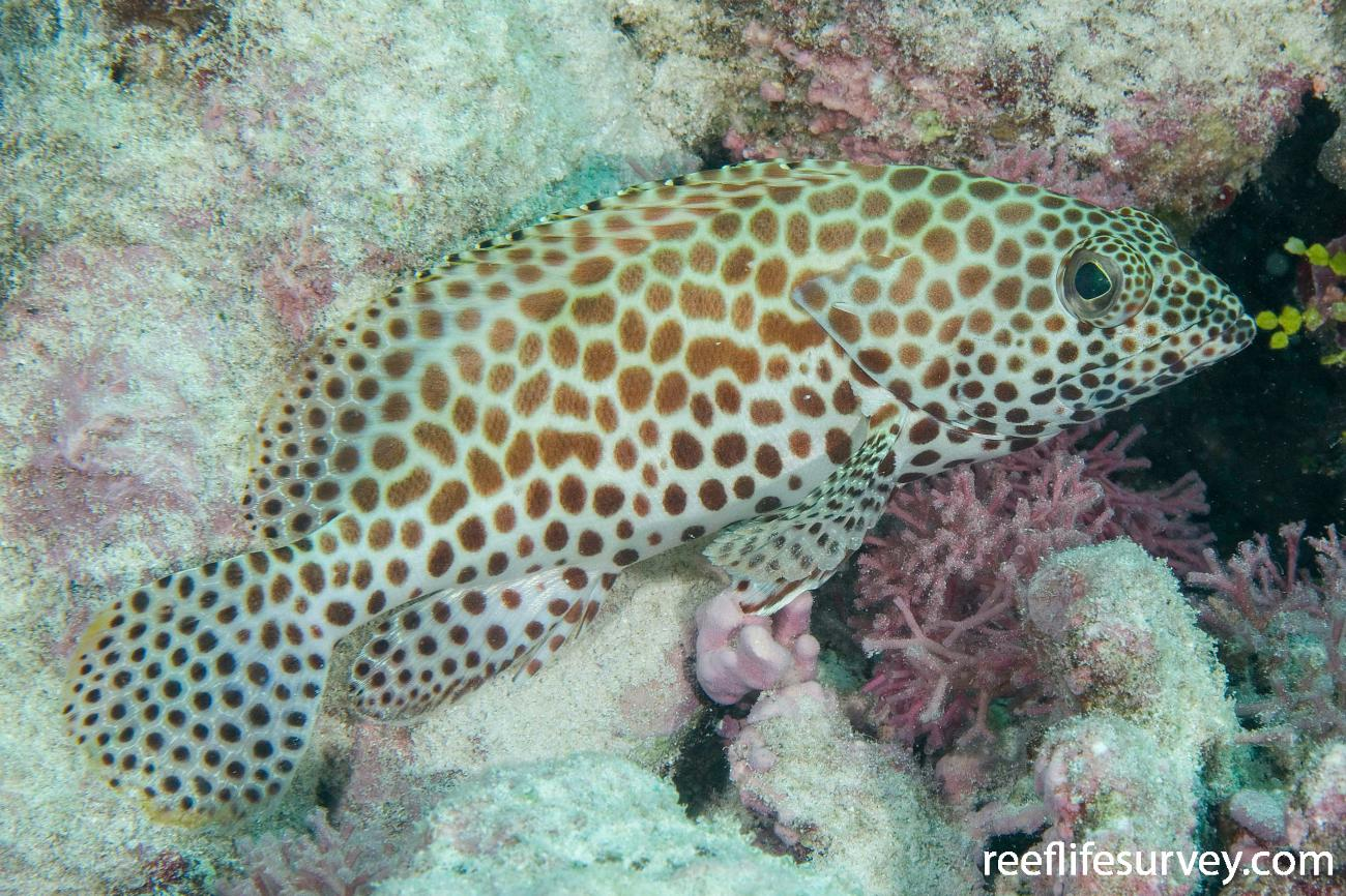 Epinephelus merra, Northern WA, Australia,  Photo: Andrew Green