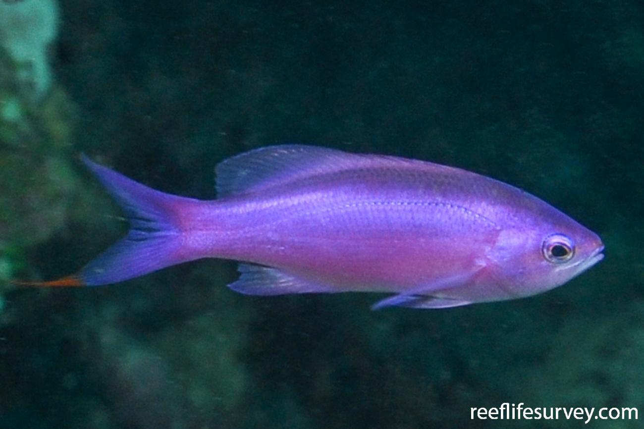Pseudanthias pascalus, Female.  Photo: Rick Stuart-Smith