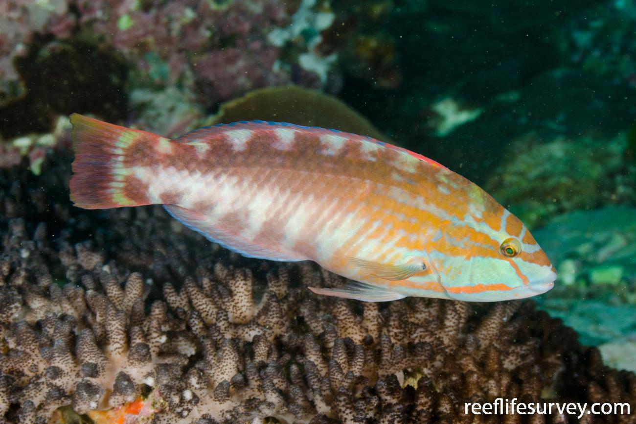 Pseudolabrus guentheri, Male, Coffs Harbour, NSW,  Photo: Ian Shaw