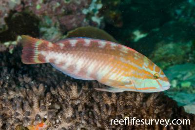 Pseudolabrus guentheri: Male, Coffs Harbour, NSW,  Photo: Ian Shaw