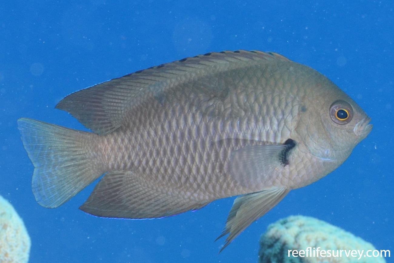 Pomacentrus nagasakiensis, Coral Sea, Australia,  Photo: Graham Edgar