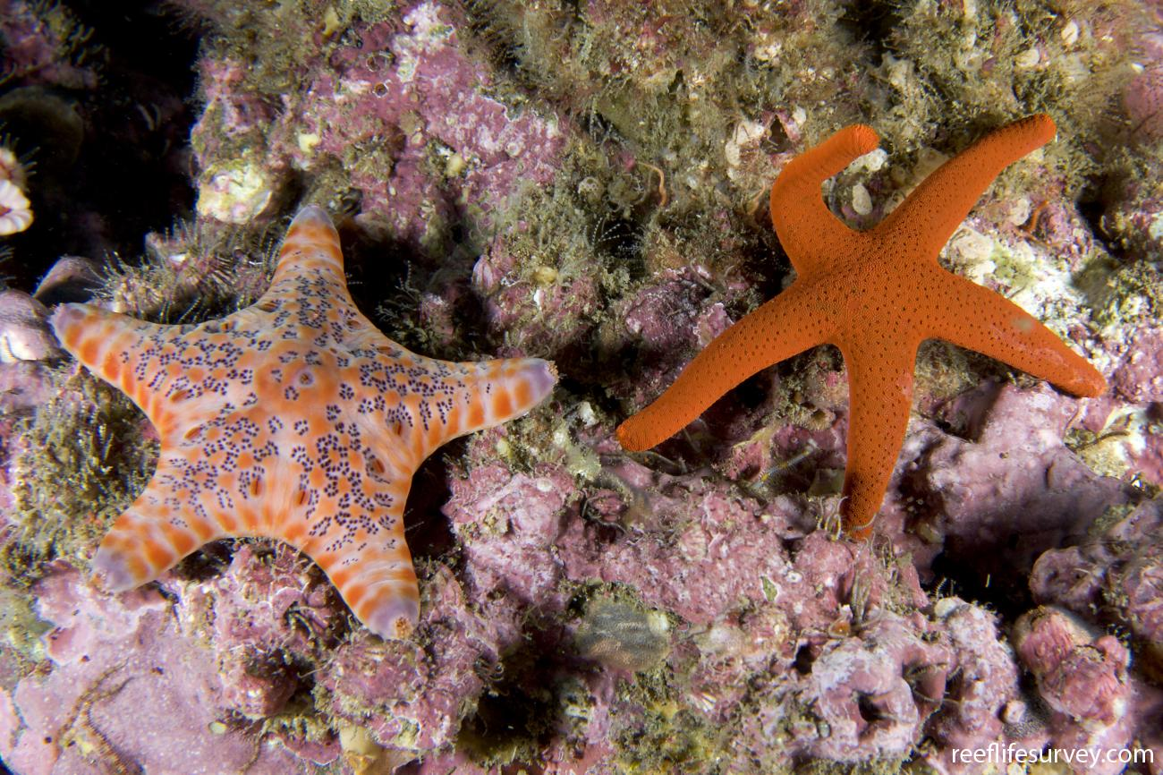 Fromia polypora, With Petricia vernicina, left. Port Macquarie, NSW,  Photo: Andrew Green