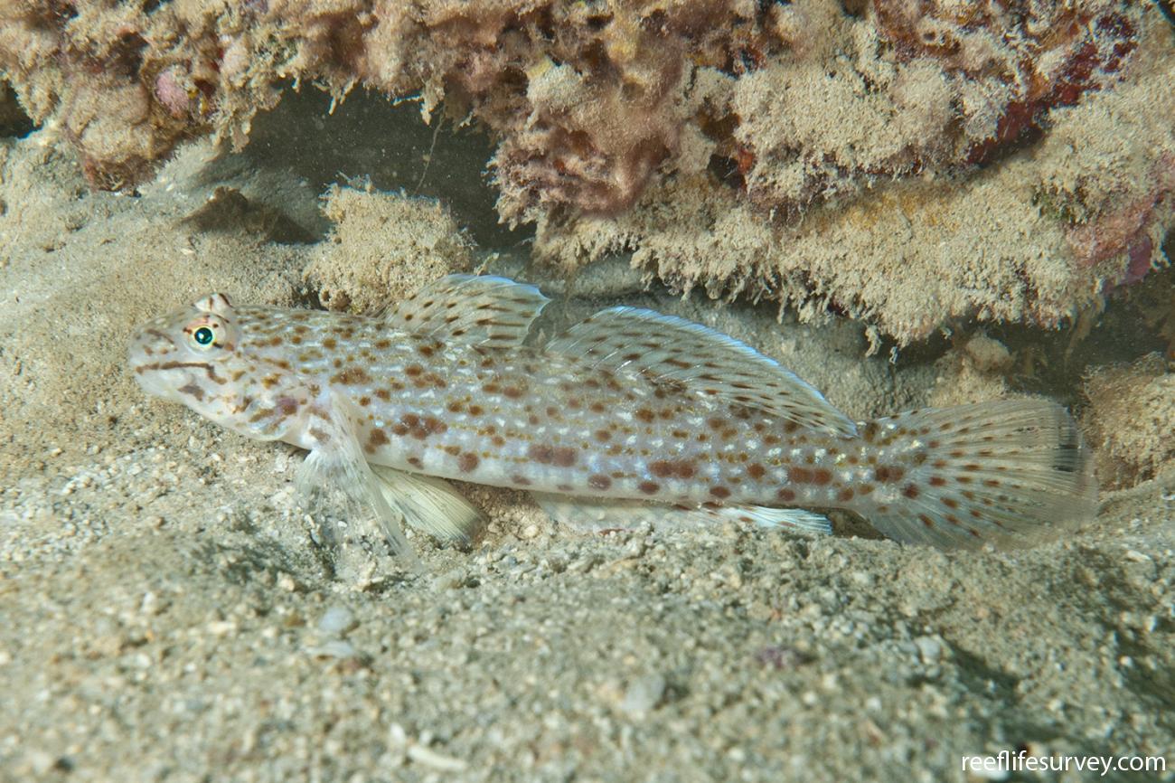 Istigobius rigilius, Adult, Lord Howe Is, NSW,  Photo: Ian Shaw