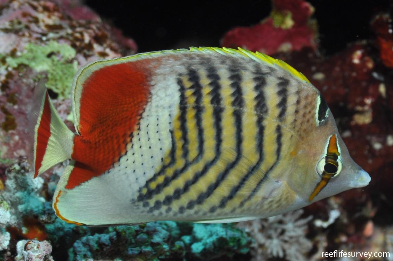 Chaetodon paucifasciatus, Red Sea, Egypt,  Photo: Rick Stuart-Smith