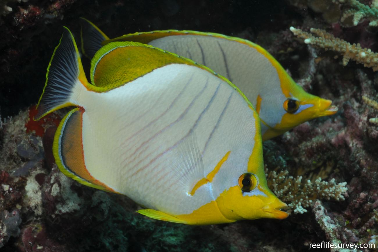 Chaetodon xanthocephalus, Maldives,  Photo: Rick Stuart-Smith