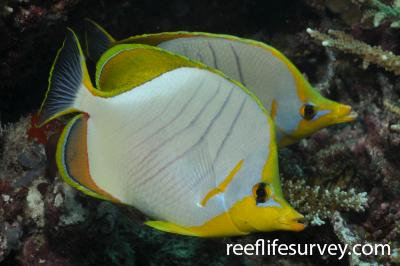 Chaetodon xanthocephalus: Maldives,  Photo: Rick Stuart-Smith